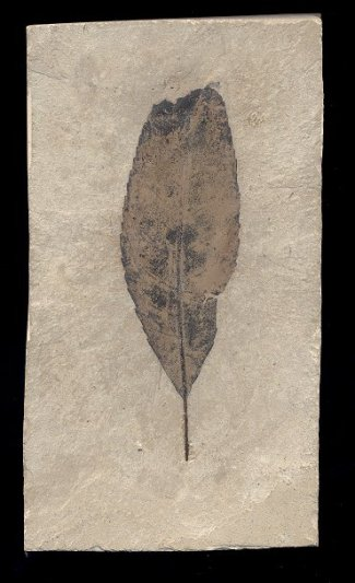 fossil allophylus leaf from Colorado, looks like a black raven feather