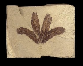 four oval shaped fossil fern leaves from Utah