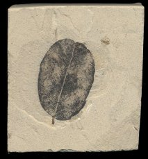 Black fossilized oval-shaped legume leaf from Colorado