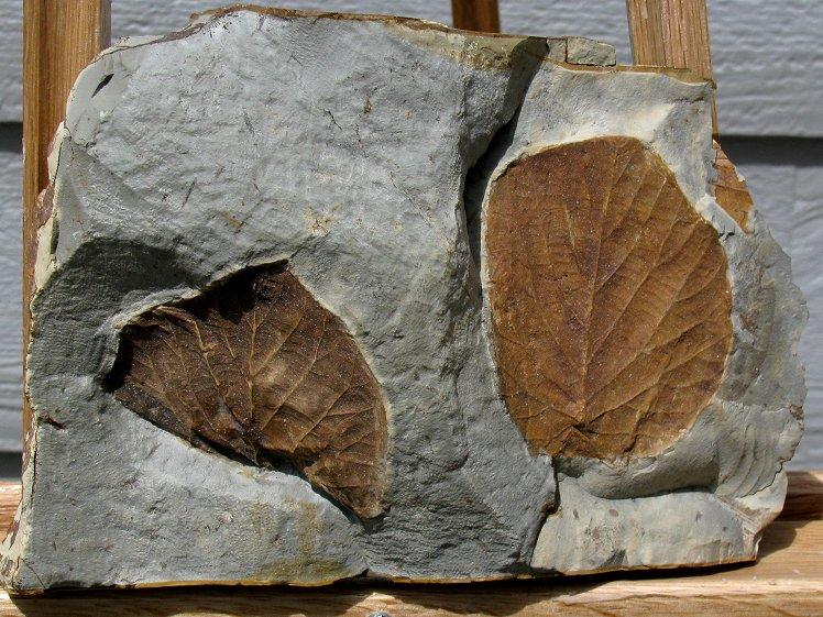 Two broad, brown fossilized leaves with light brown veins in a gray rock with deep crevices from Montana