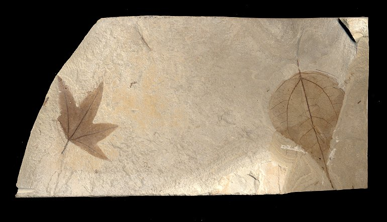 A sycamore leaf and a poplar leaf in the same stone slab (limestone?). They are light brown on a cream colored background and you can see the veins on the leaves.