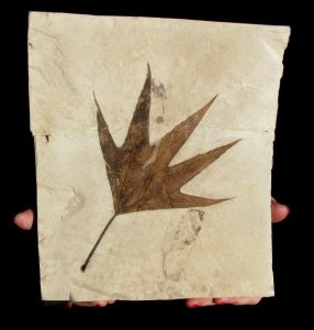 Fossilized brown pointy sycamore leaf from Colorado