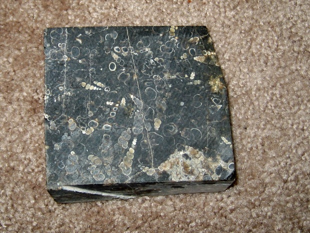 A dark brown, almost black square of rock, cut flat, completely covered with images of tan, tubular shells pointing in various directions.