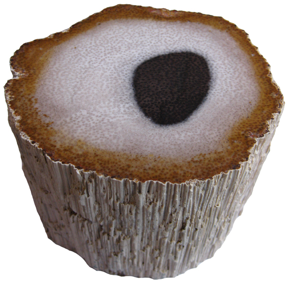 A cross-section of a palm tree trunk with white bark. The inside is mostly white with small light brown spots, darkening to a medium brown with dark brown spots at the edges by the bark, and there is a black circle in the middle also having a spotted texture.