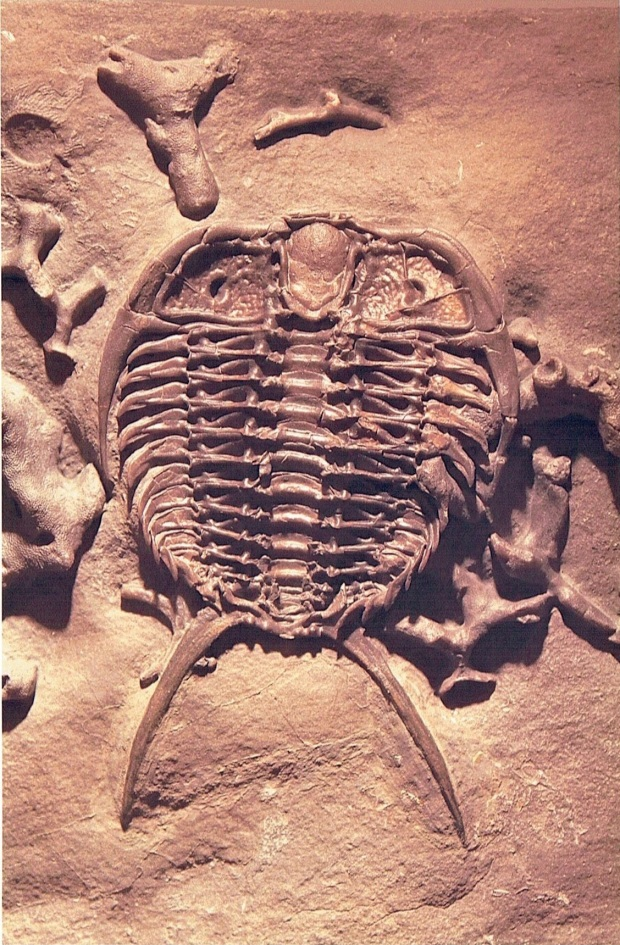 A fossil trilobite seen from below