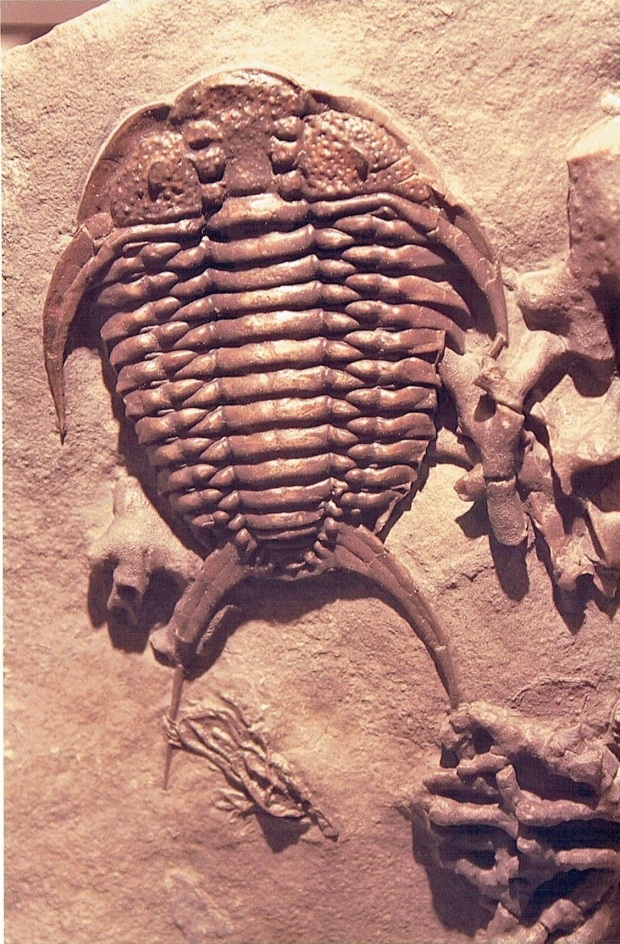 A fossil trilobite seen from above