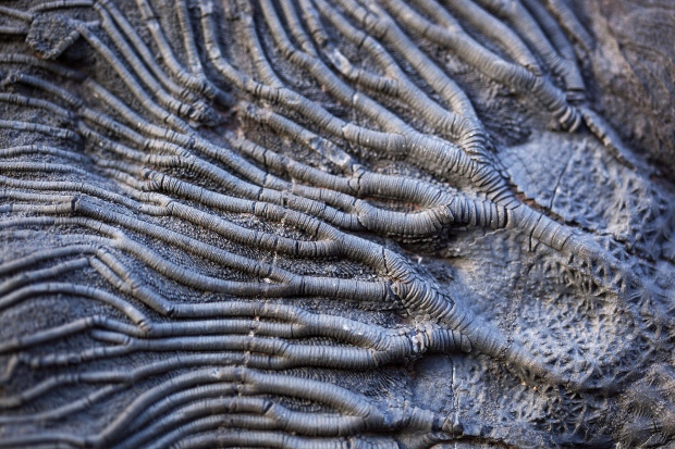 Close up view of a charcoal-colored fossil that looks like lots of branching tubes with stripes.