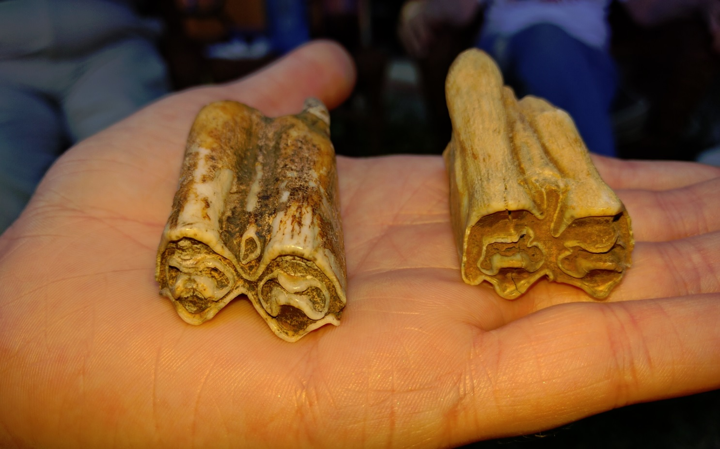 two fossilized teeth in the palm of a person's hand