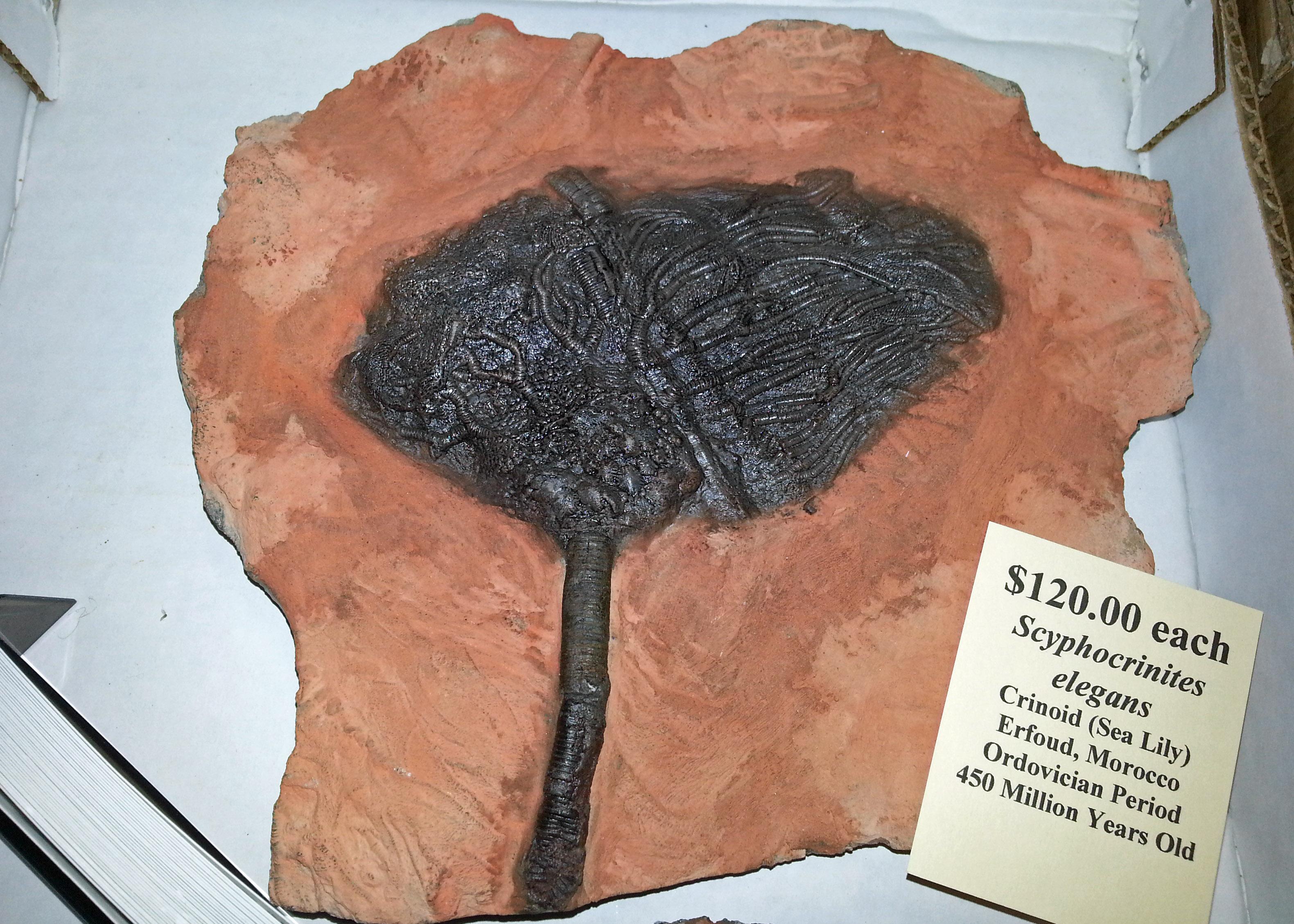 crinoid Scyphocrinites elegans fossil from Morocco