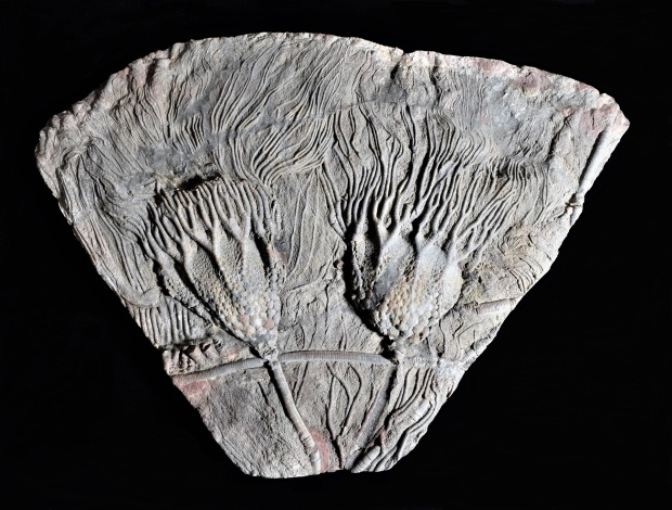 Scyphocrinites elegans - Crinoid with lobolith float Upper Silurian Period